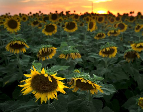 Sunflower2S
