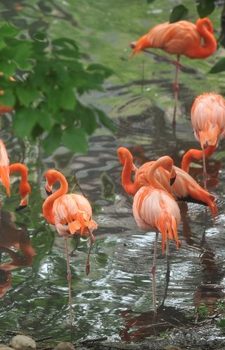 FlamingosS