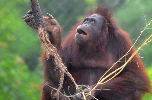 OrangutanH