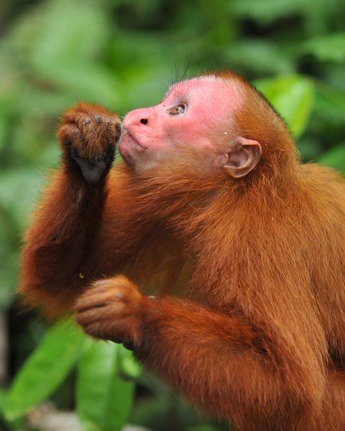 RedFace Monkey 2