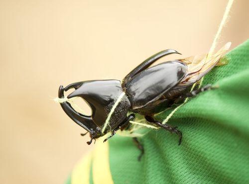 Rino Beetle 1